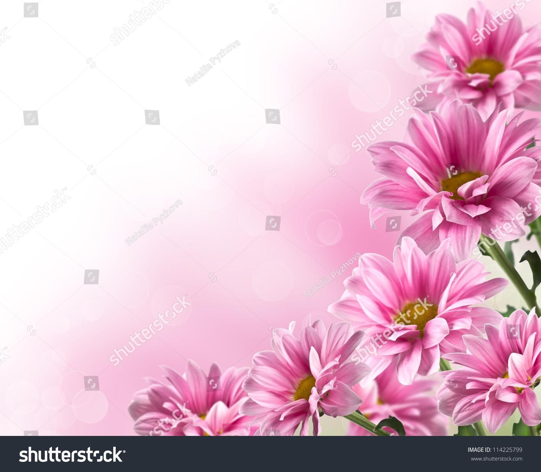 粉红色的盛开的菊花有模糊的背景