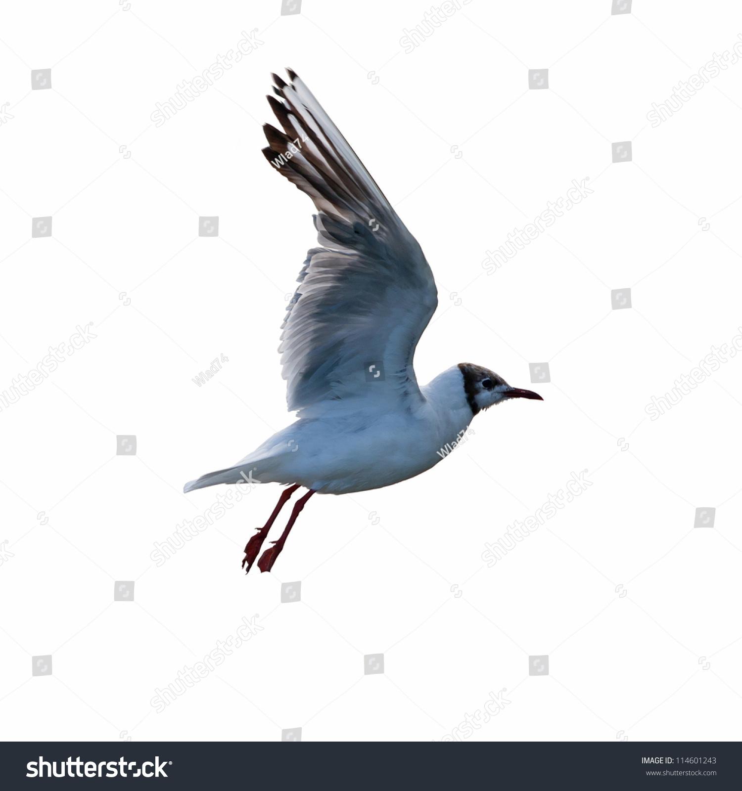 飞翔的海鸥在白色的背景