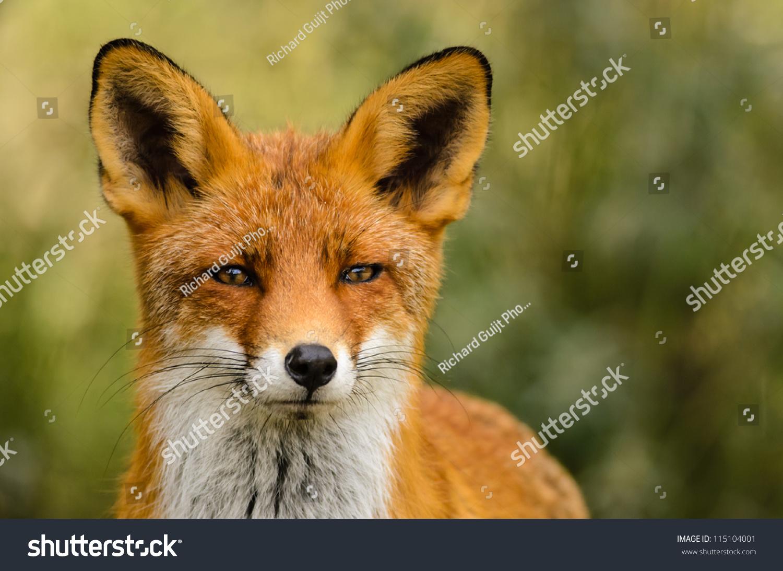 动物 狐狸 桌面 1500