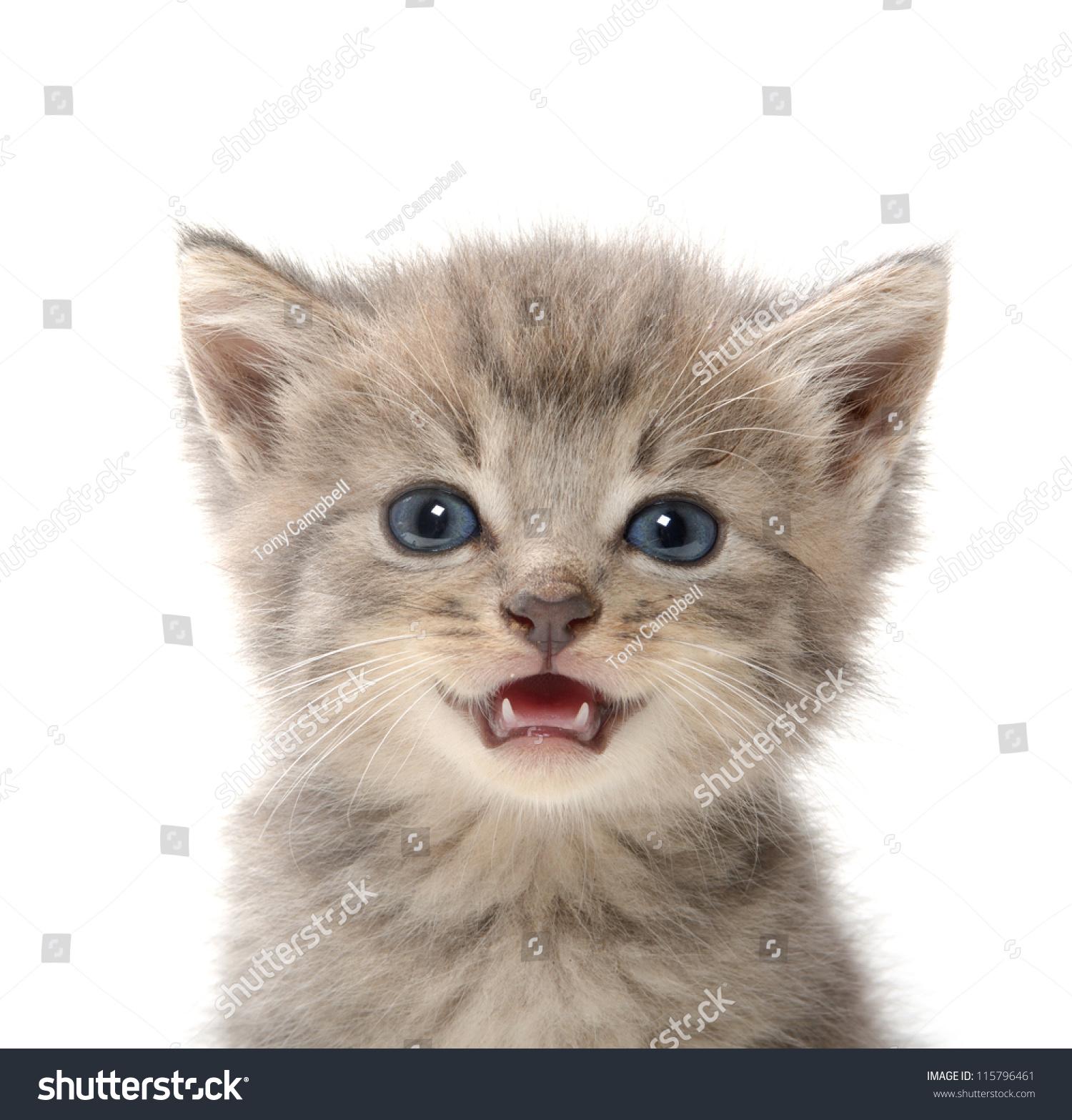 可爱的宠物虎斑小猫婴儿在白色背景上-动物/野生生物