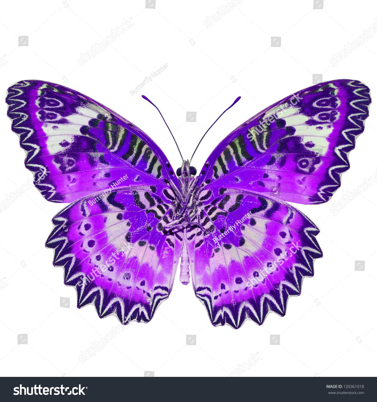 紫蝴蝶,白色背景-动物/野生生物