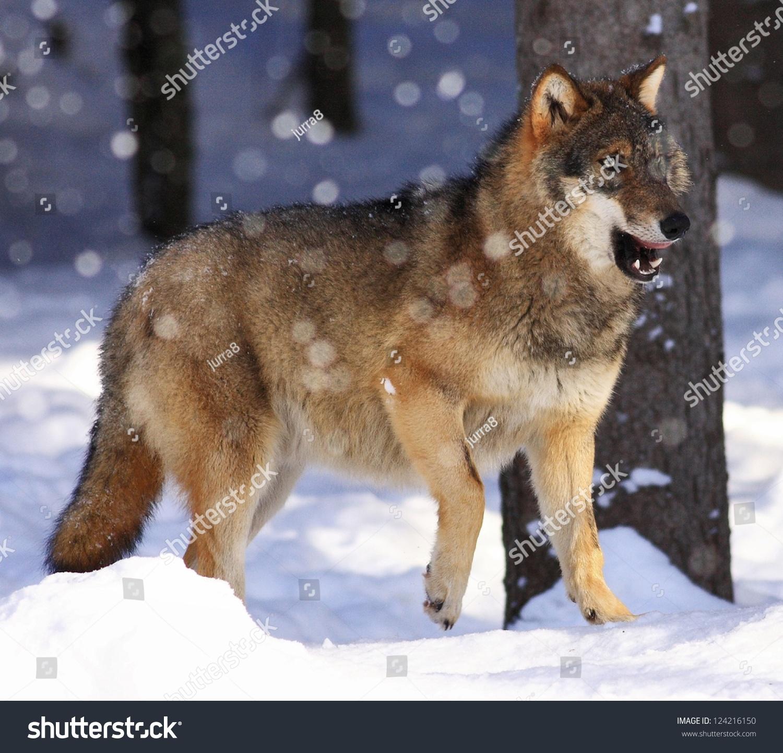 微信动物狼头像