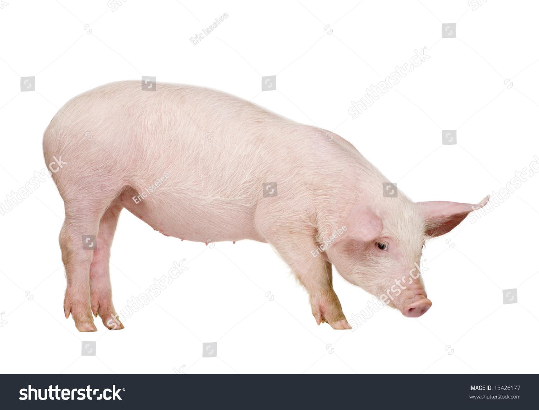 幼猪(/ - 1个月)在一个白色的背景前面-动物/野生生物