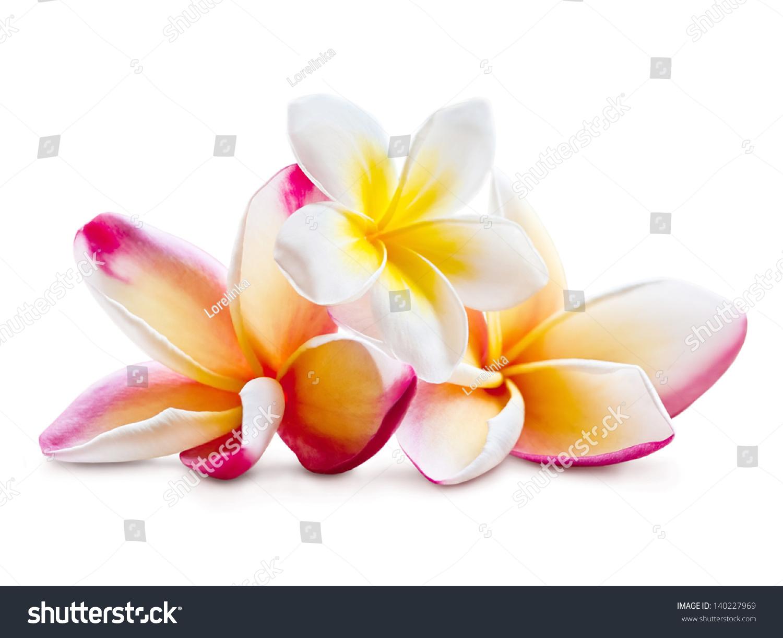 美丽的木兰花孤立在白色背景