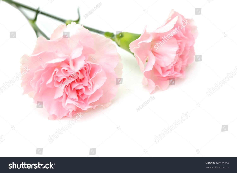 粉红色的康乃馨在白色背景
