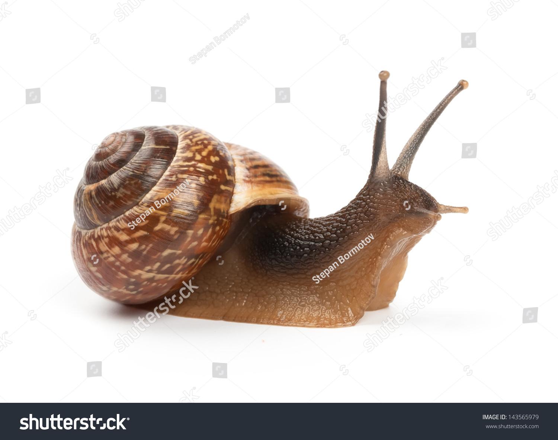花园蜗牛在白色背景上-动物/野生生物
