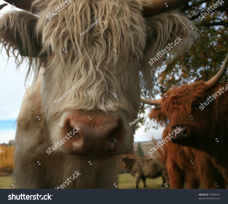 苏格兰高地牛特写-动物/野生生物