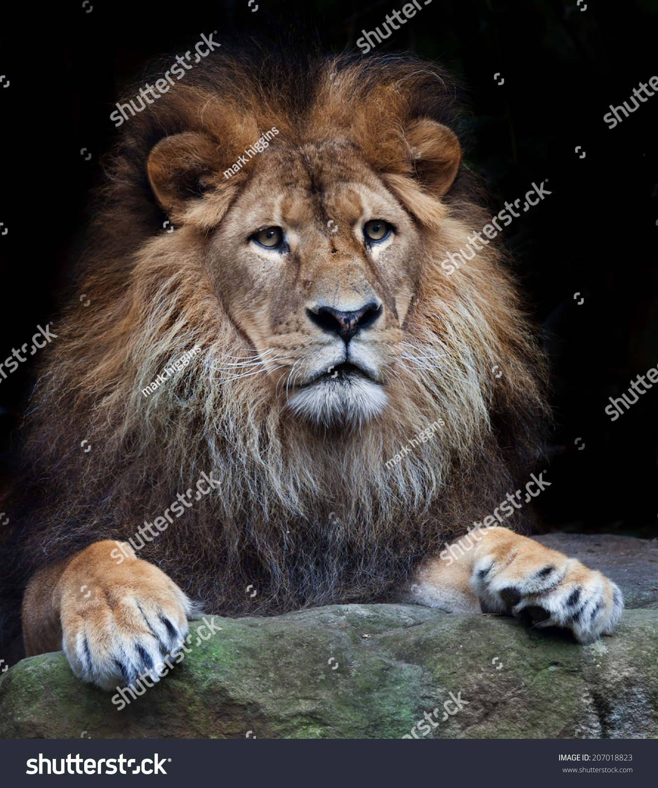 微信头像动物狮子
