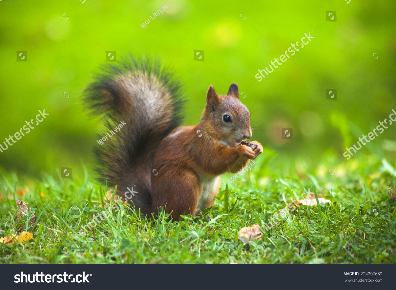 松鼠吃坚果-动物/野生生物,自然-海洛创意(hellorf)-.