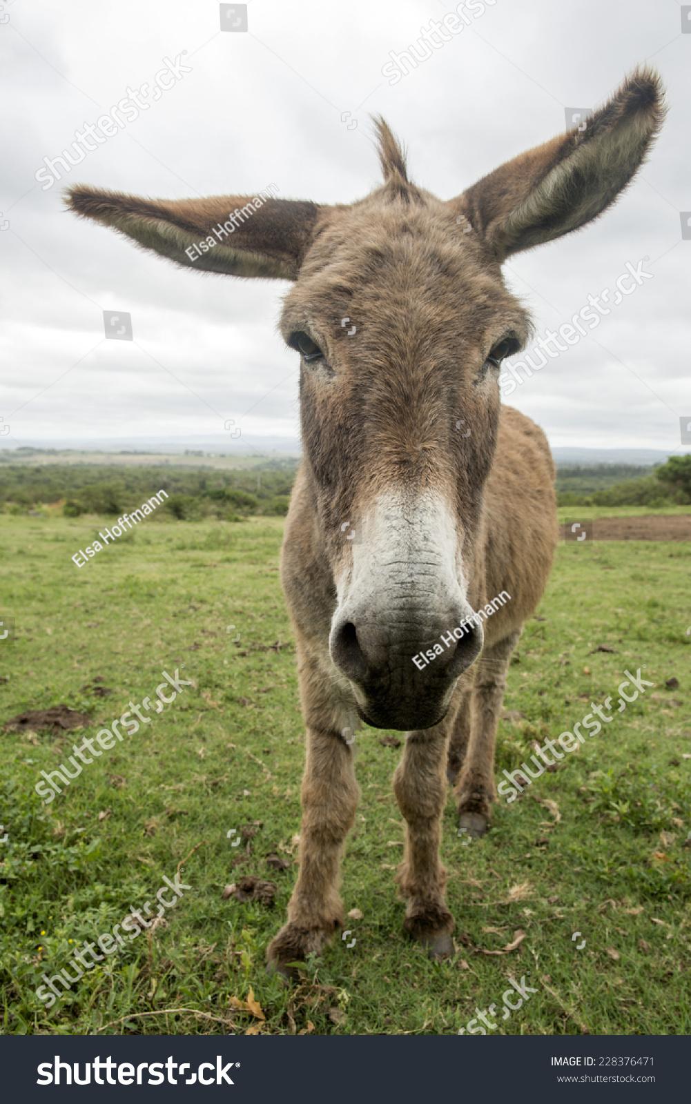 有趣的驴,大耳朵长-动物/野生生物-海洛创意(hellorf)