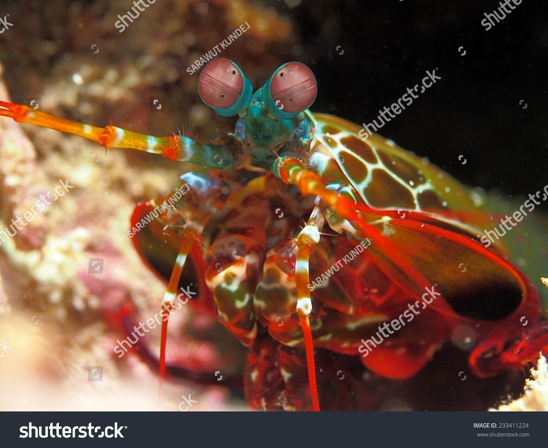 孔雀螳螂虾-动物/野生生物