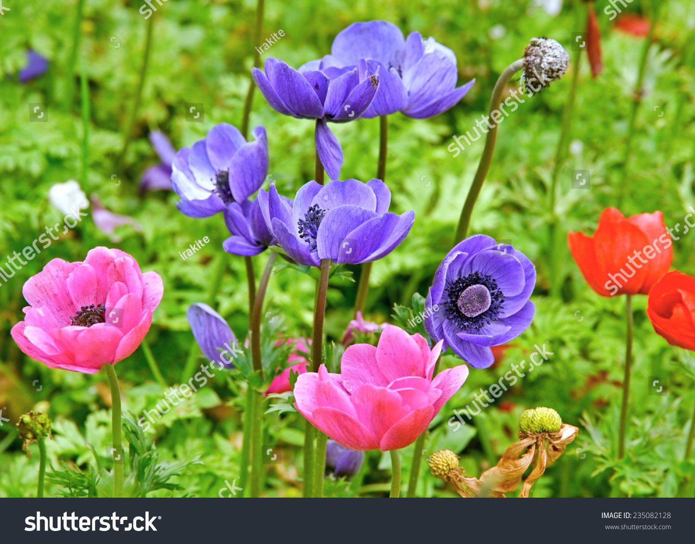 春天花园里美丽的海葵.-背景/素材,自然-海洛创意()-.