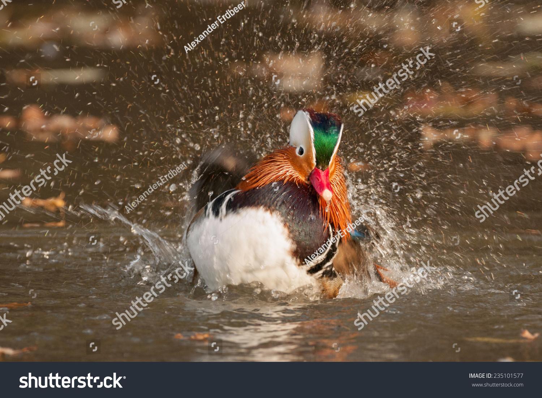 普通话鸭-动物/野生生物