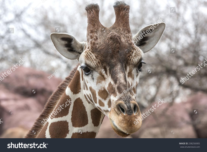 长颈鹿的画像-动物/野生生物