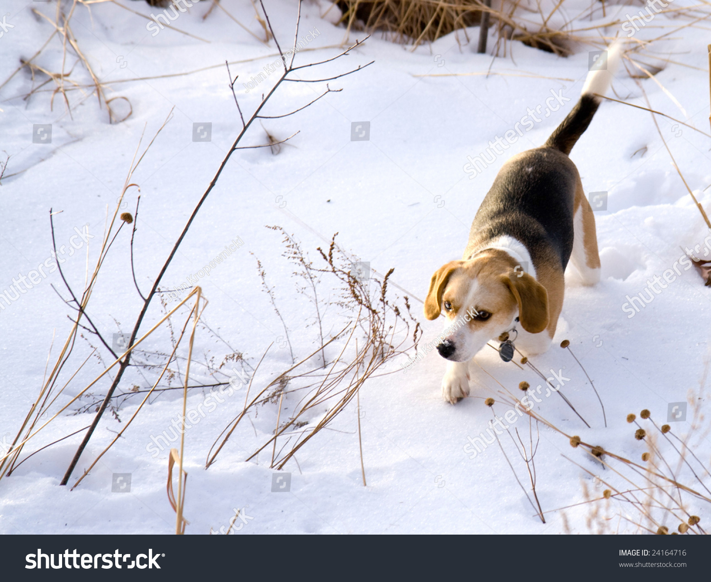 这是一个小猎犬在雪地里狩猎一只兔子