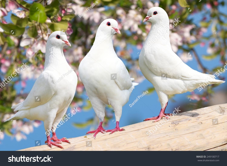 三白色的鸽子在开花的背景-御鸽皇鸠-动物/野生生物