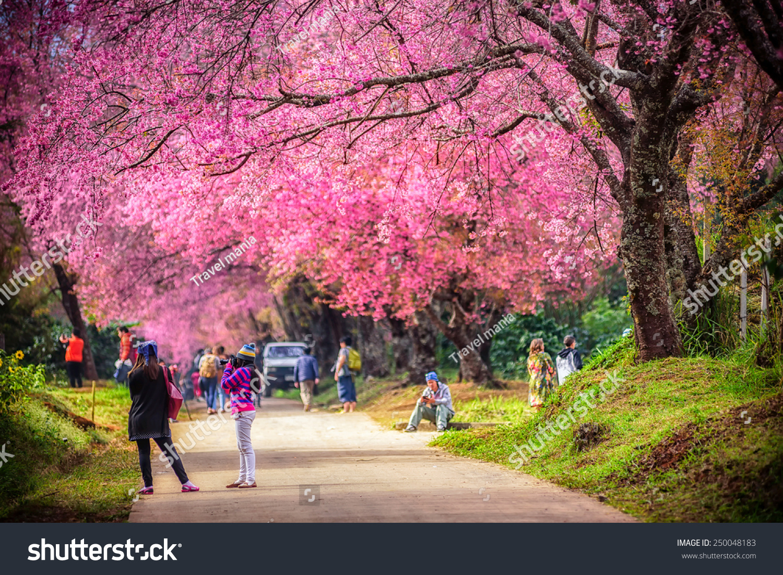 美丽的樱花树花园,泰国-自然,公园/户外-海洛创意()-.