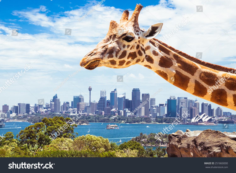 长颈鹿在动物园,悉尼看起来向金融区.澳大利亚