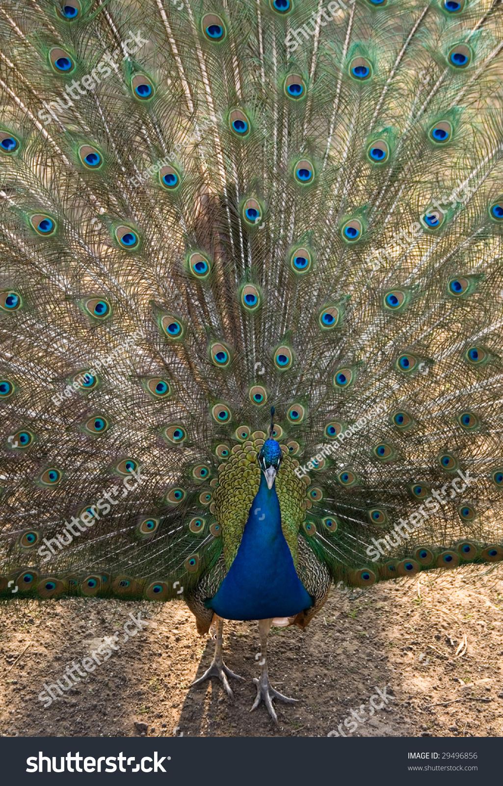美丽的孔雀传播其颜色的尾巴-动物/野生生物