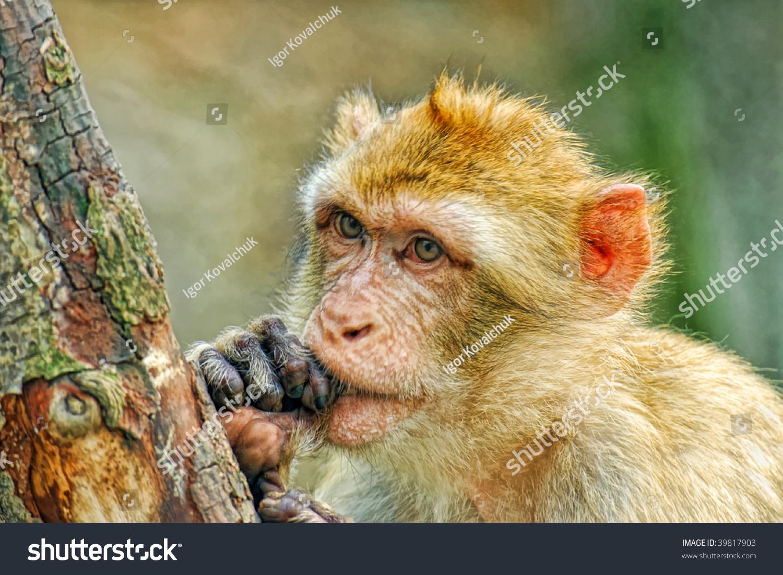有趣的猴子把手指放进嘴里-动物/野生生物,自然-海洛