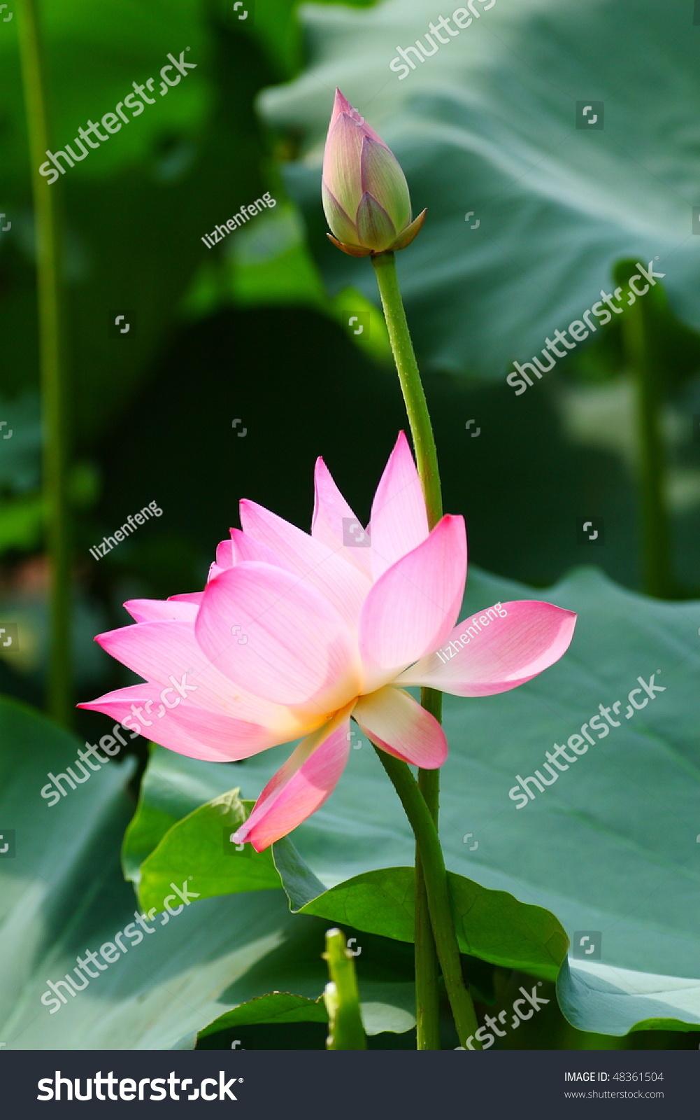 漂亮的粉红色的莲花