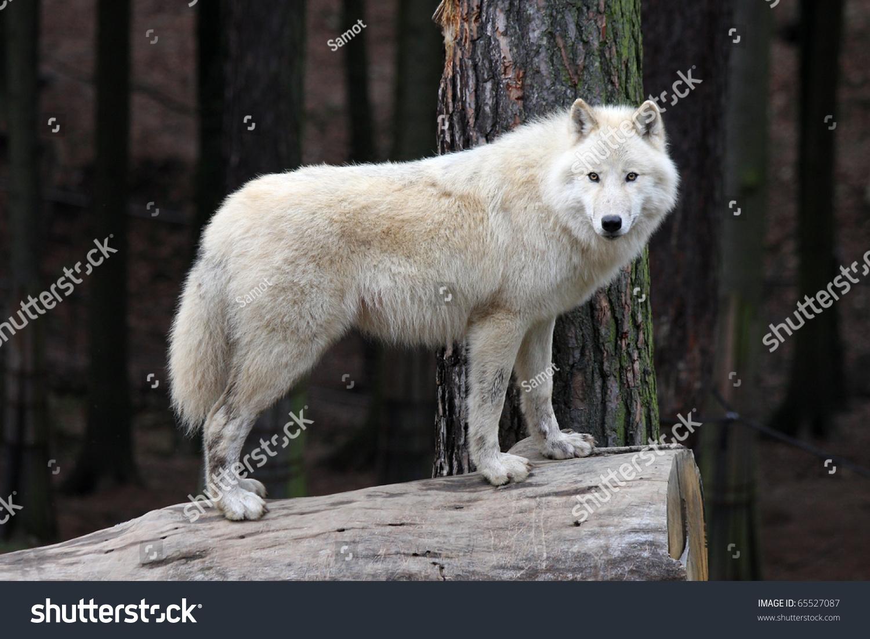 北极白狼-动物/野生生物,交通运输-海洛创意(hellorf)
