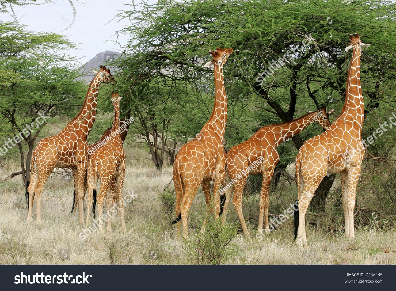 群6男网状长颈鹿在肯尼亚非洲水牛温泉国家公园-动物
