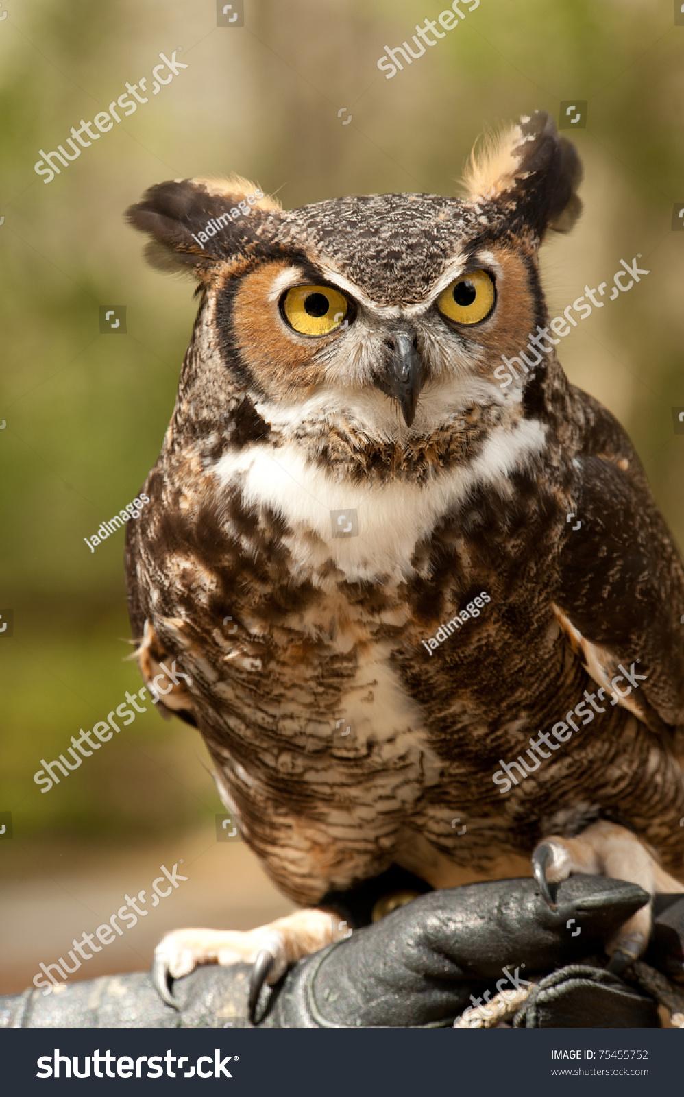 大角鸮与金色的眼睛盯着-动物/野生生物