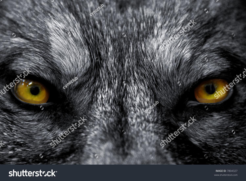 一只野生狼的美丽眼睛:危险的哺乳动物-动物/野生生物