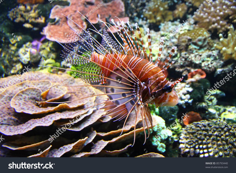 红狮子鱼(pterois volitans)在水里-动物/野生生物