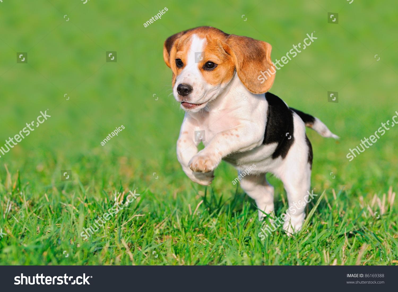 可爱的小猎犬小狗三个月快乐的在草地上奔跑-动物