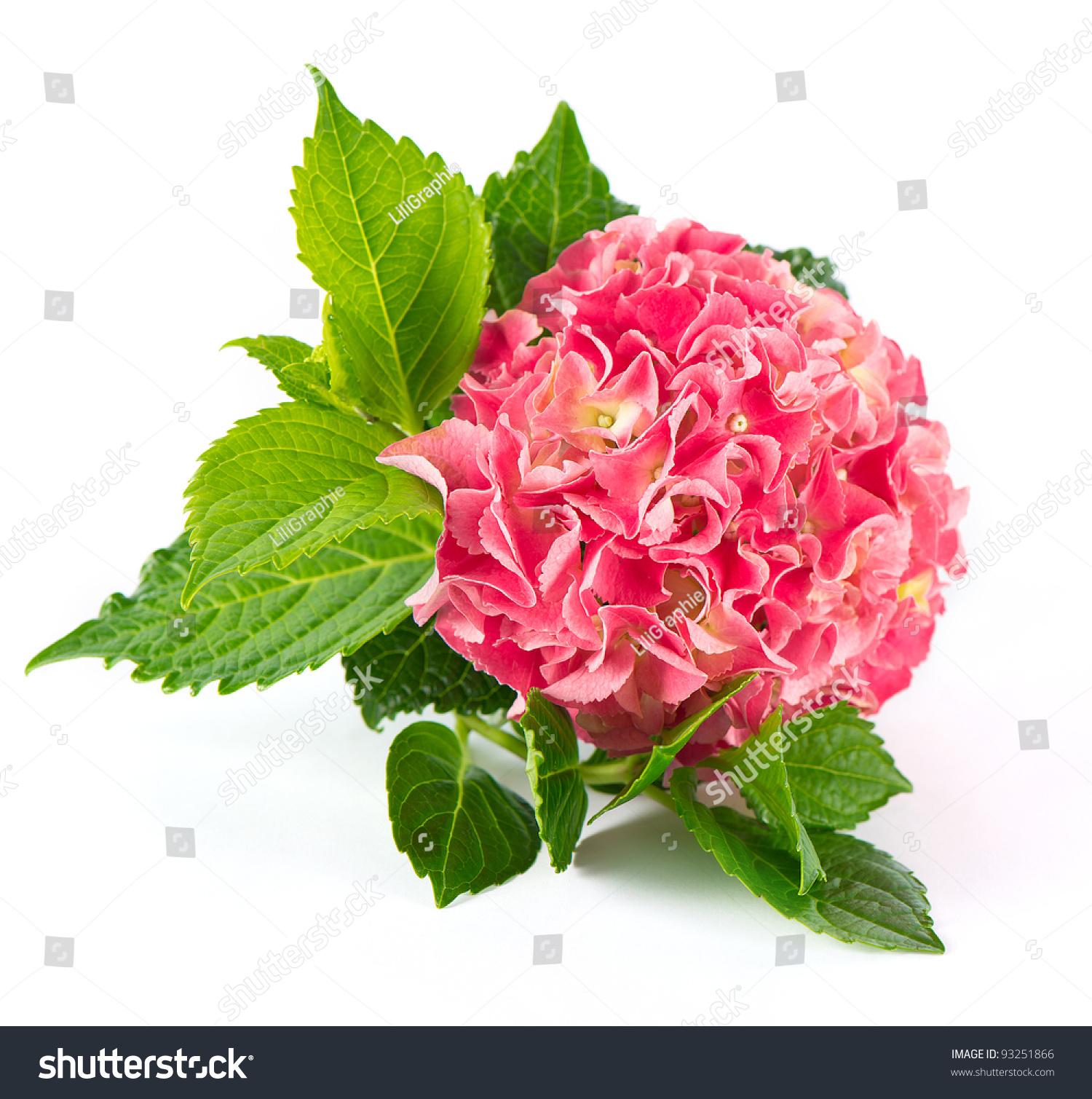 新鲜的绣球花白色背景