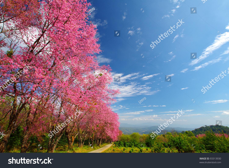 在泰国粉色樱花路-背景/素材,自然-海洛创意(hellorf)
