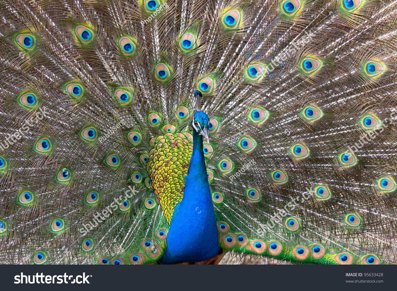 孔雀展示丰富多彩的羽毛尾巴-动物/野生生物